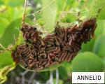 ANNELID anagram