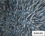 BANIAN anagram