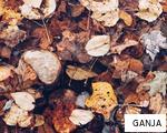 GANJA anagram