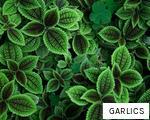 GARLICS anagram