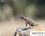 HAYCOCK anagram
