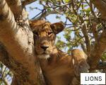LIONS anagram