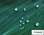 PINNAS anagram