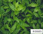 RIDGES anagram