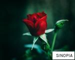 SINOPIA anagram