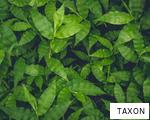 TAXON anagram