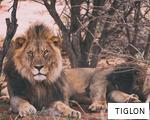TIGLON anagram