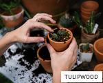 TULIPWOOD anagram
